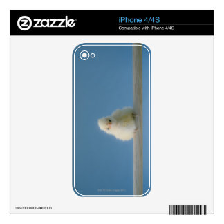 Lone Baby Pet Chicken Sitting on a Perch iPhone 4 Decal