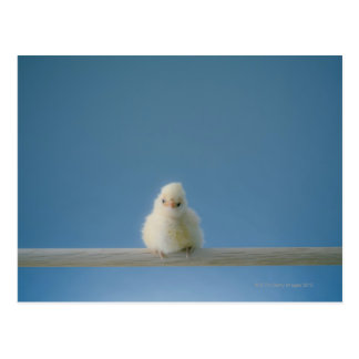 Lone Baby Pet Chicken Sitting on a Perch Postcard