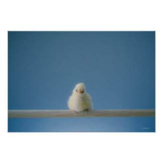Lone Baby Pet Chicken Sitting on a Perch Poster