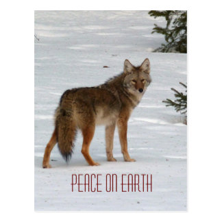 Lone Coyote in Snow Postcard