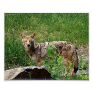 Lone Coyote Poster