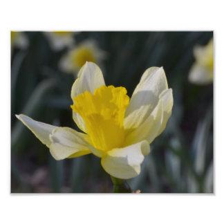 Lone Daffodil Photo Print