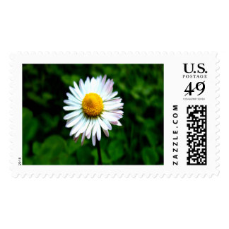 Lone Daisy Large Postage Stamp