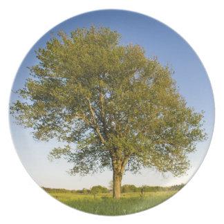 Lone maple tree in hay field at Raymond Farm, Dinner Plate