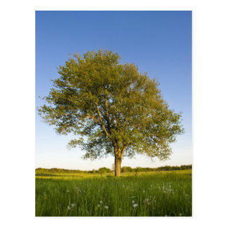 Lone maple tree in hay field at Raymond Farm, Postcard
