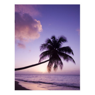 Lone palm tree at sunset, Coconut Grove beach Postcard