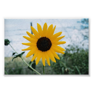 Lone Sunfloer Poster