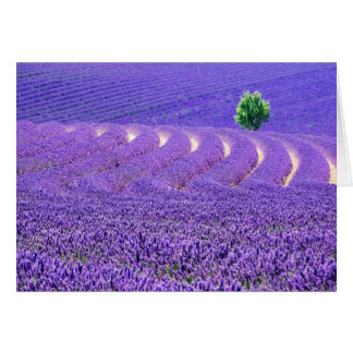 Lone tree in Lavender Field, France Card