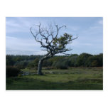 Lone tree in New Forest Post Cards