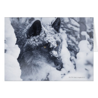 Lone wolf in snow card