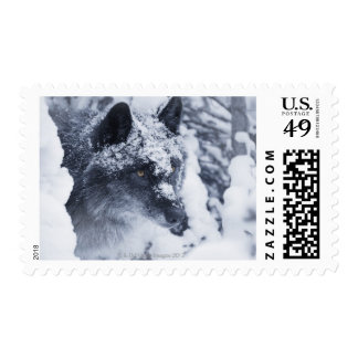 Lone wolf in snow postage