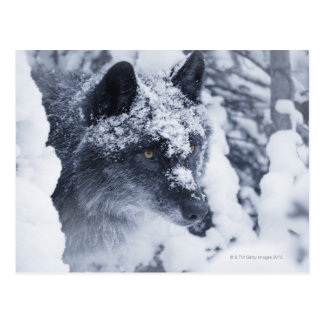 Lone wolf in snow postcard