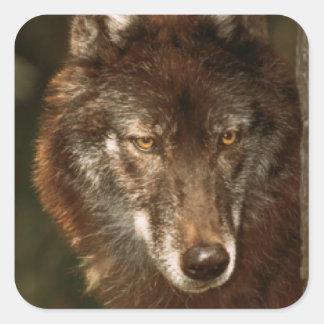 Lone wolf square sticker