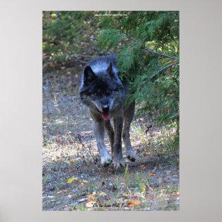 Lone Wolf Walking on Path Wildlife Photo Art Print