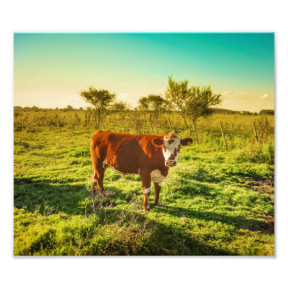 Lonely Cow in the Meadow Facing the Camera Photo Print