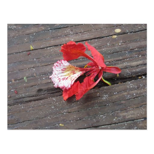 Lonely Flame Tree Blossom On A Boardwalk Postcard