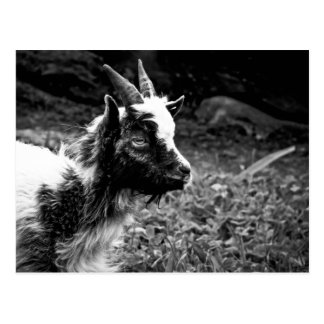Lonely Kid | Young Bagot Goat Photography Postcard