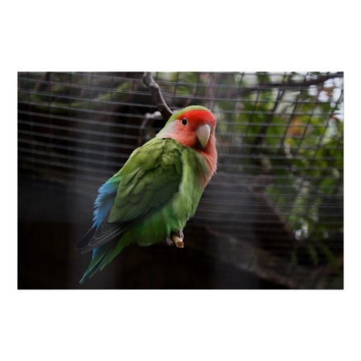 Lonely Lovebird Posters