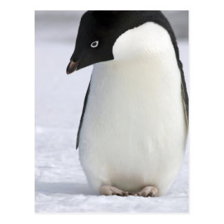 Lonely Penguin Postcard