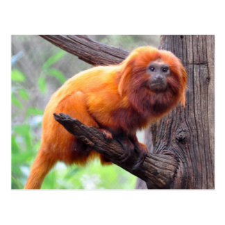 Lonely Red Leaf Monkey Postcard