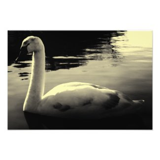 lonely Swan Black & White Photo Print
