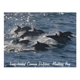 Long-beaked Common Dolphins Postcard