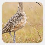 Long-billed Curlew Numenius americanus) adult Square Sticker