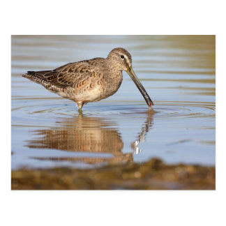 Long-Billed Dowitcher postcard