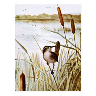 Long Billed Marsh Wren Postcard