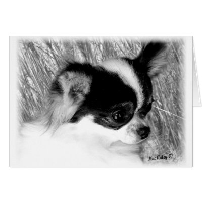 long haired chihuahua puppies florida. Black and White Coat Chihuahua