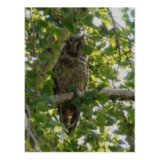 Long eared owl in tree - asio otus postcard