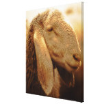 Long Eared Sheep Dolomites, Italy Canvas Prints