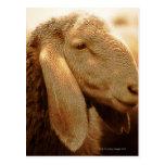 Long Eared Sheep Dolomites, Italy Postcard