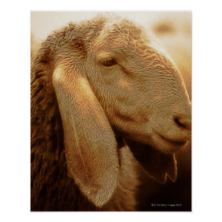 Long Eared Sheep Dolomites, Italy Poster