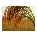 Long Grain Rice Post Card