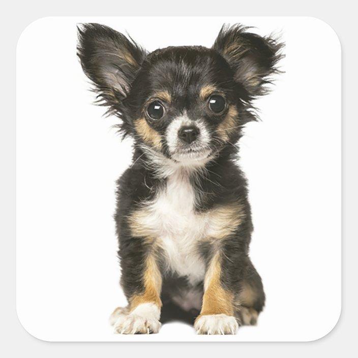Long Hair Chihuahua Puppy Dog Black