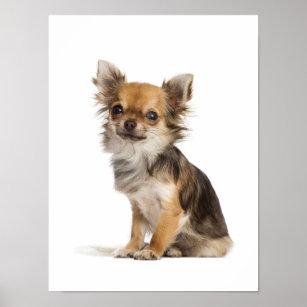 Long Hair Chihuahua Art Wall Décor Zazzle