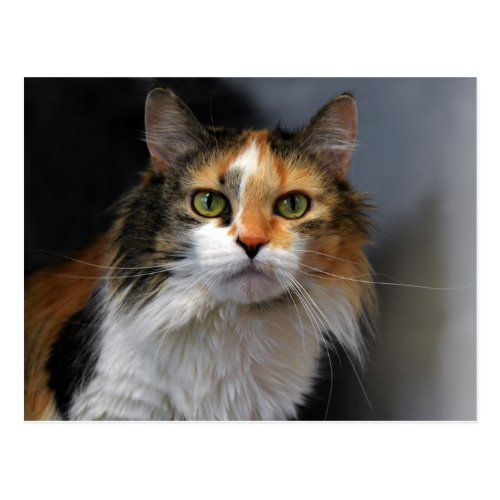 Long-haired Calico Cat Postcard