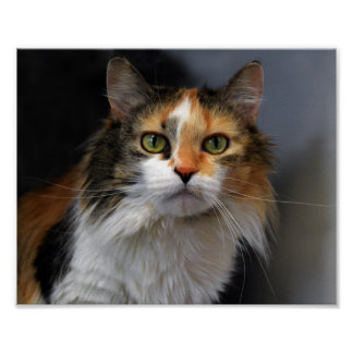 Long-Haired Calico Cat Poster