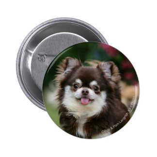 Long Haired Chihuahua Headshot 1 Pinback Button