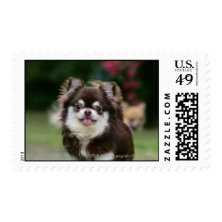 Long Haired Chihuahua Headshot 1 Postage