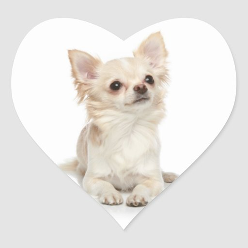 Long Haired Chihuahua Heart Sticker