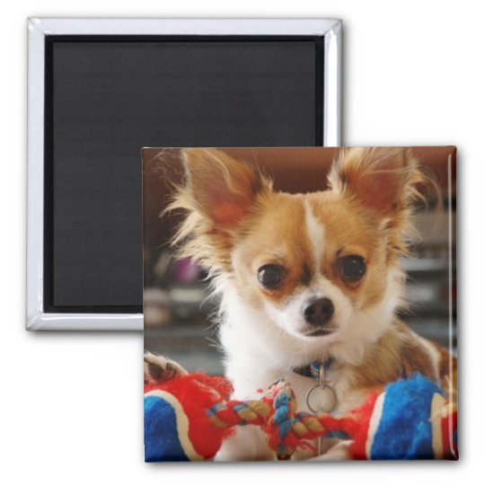 Long Haired Chihuahua Magnet