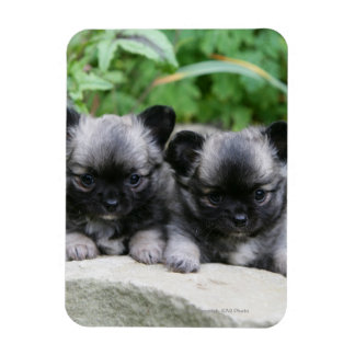 Long Haired Chihuahua Puppies Magnet
