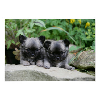 Long Haired Chihuahua Puppies Poster