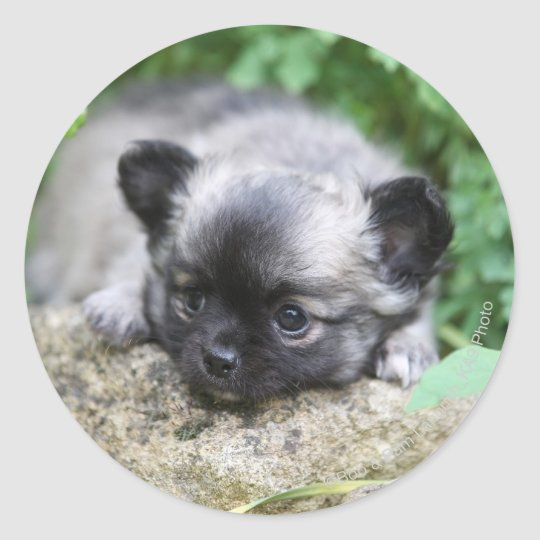 Long Haired Chihuahua Puppy Classic Round Sticker