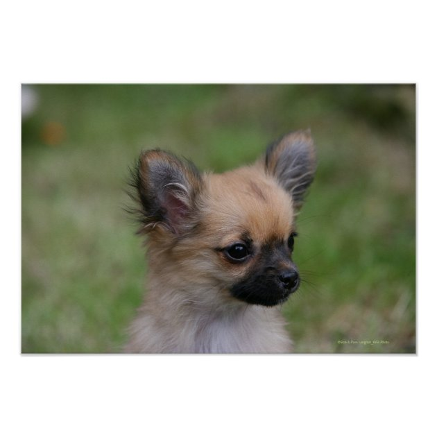 Long Haired Chihuahua Puppy Looking At Camera Poster Zazzle Com