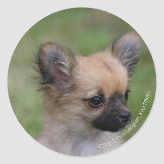 Long Haired Chihuahua Puppy Looking at Camera Sticker