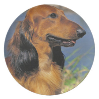 Long haired  Dachshund plate