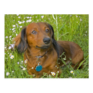 long haired dachshund postcard